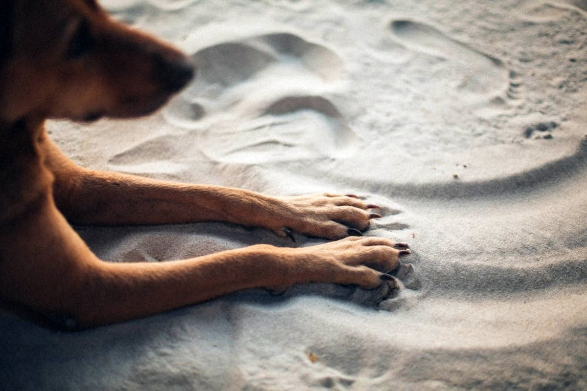 dog with paws in the sand