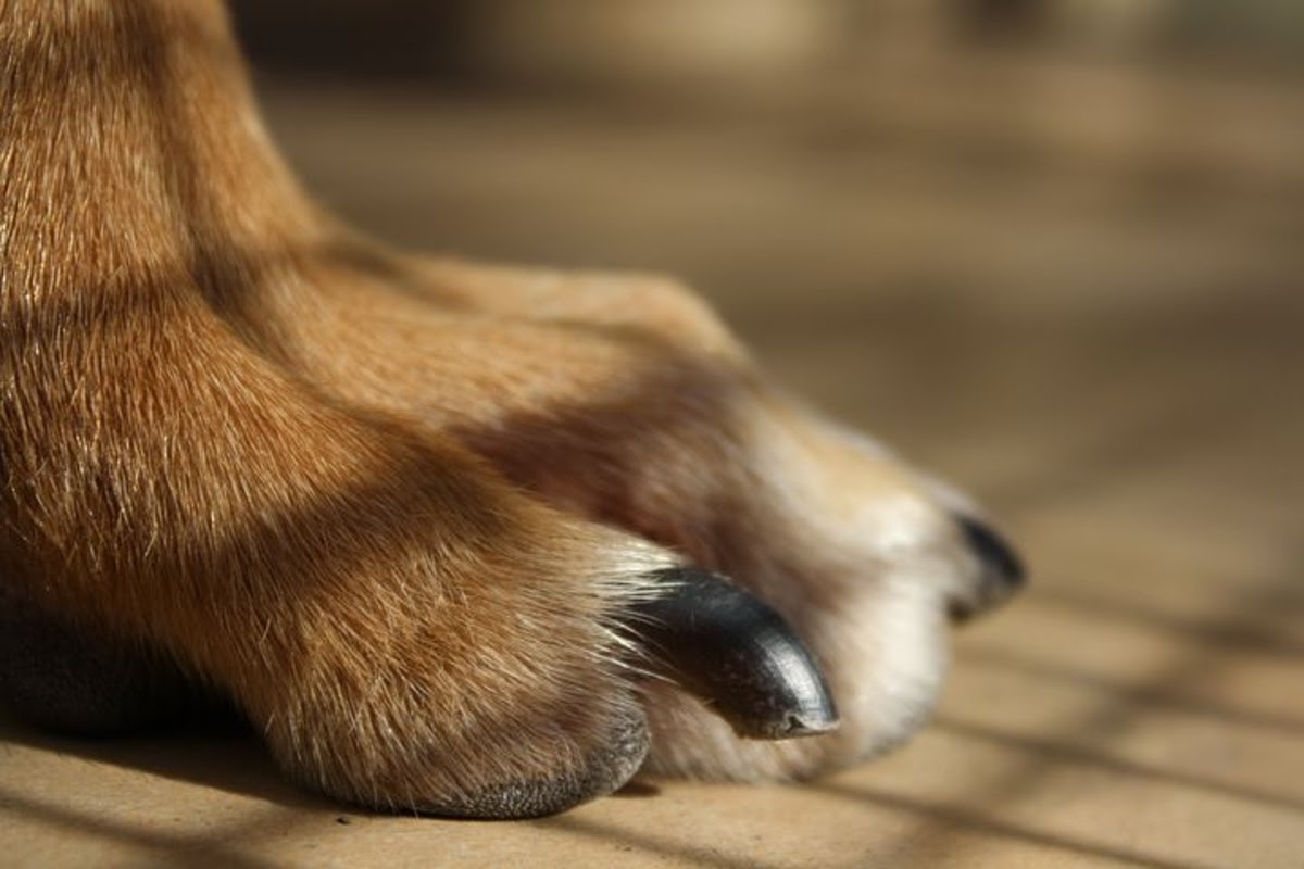 up close of dog's paw with nails