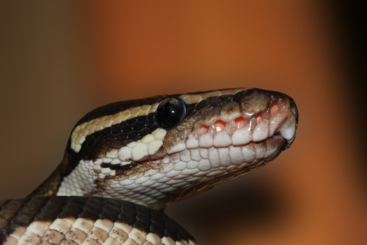 A ball python snake looking up