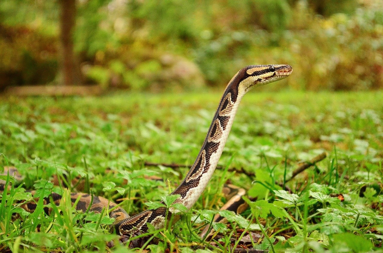 A ball python outside in the grass