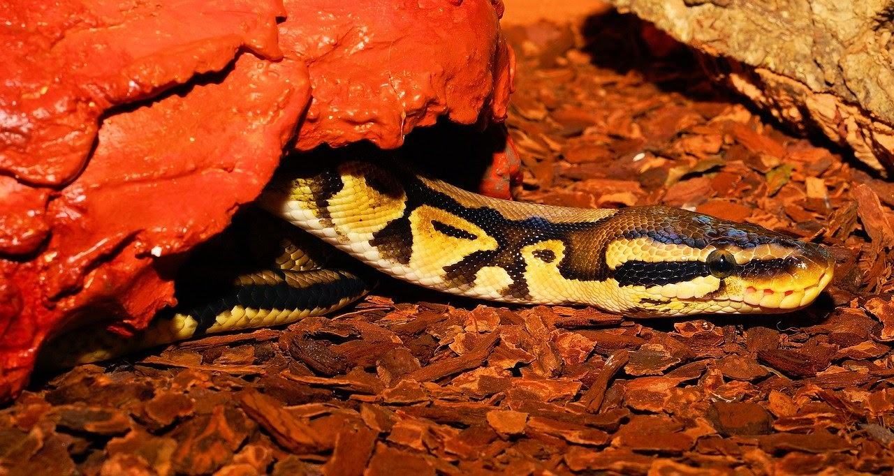 A ball snake under a hide box