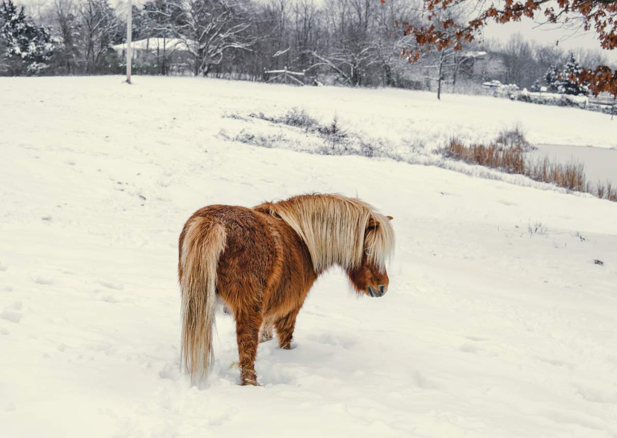 Interested in How to Care for a Mini Horse? Find Out Here!