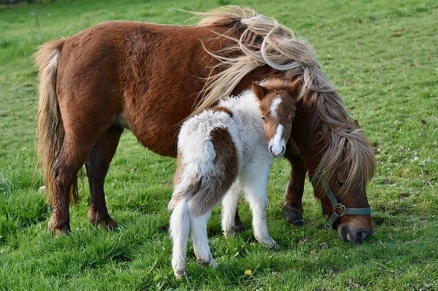 mini horse grazing in a field with their foal standing in front of them