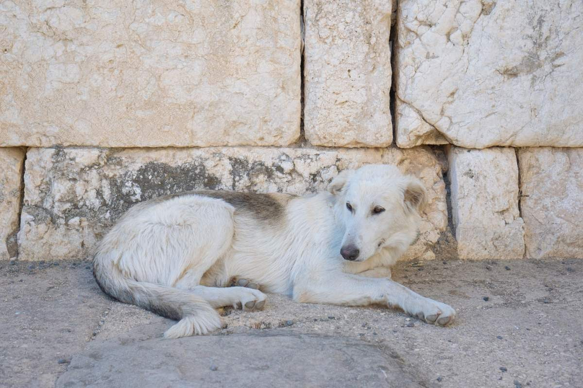 Big white dog laying down in front of a cobblestone wall