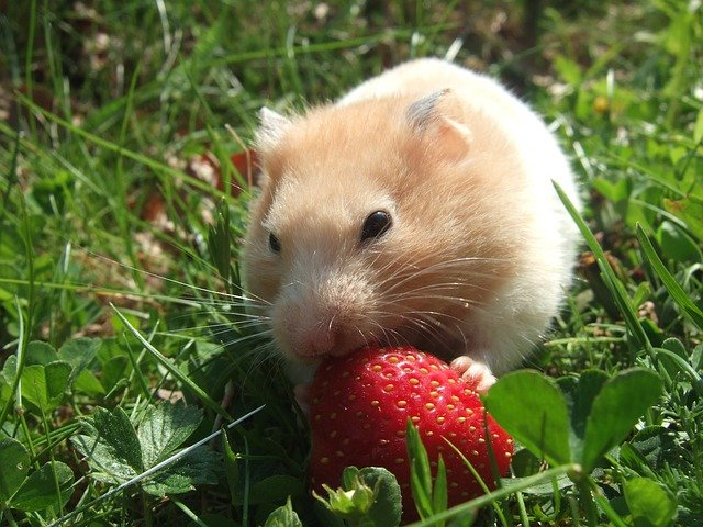 Here are Some Common Health Problems Your Hamster May Experience and How to Deal With Them
