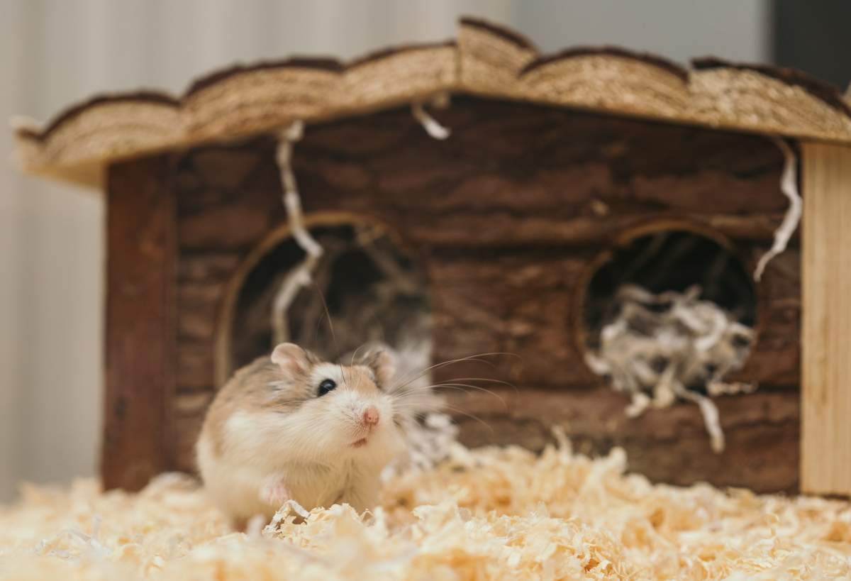 Hamster in its bedding