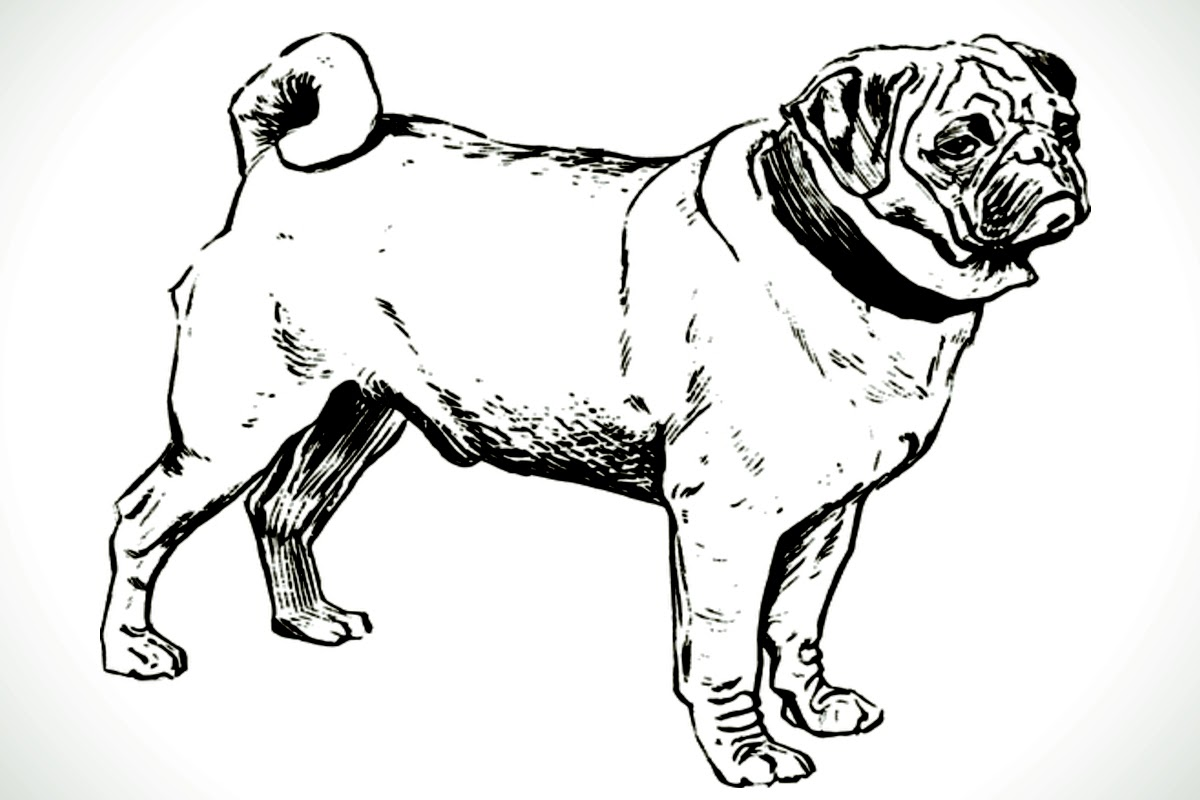 sketch drawing of pugs whole body