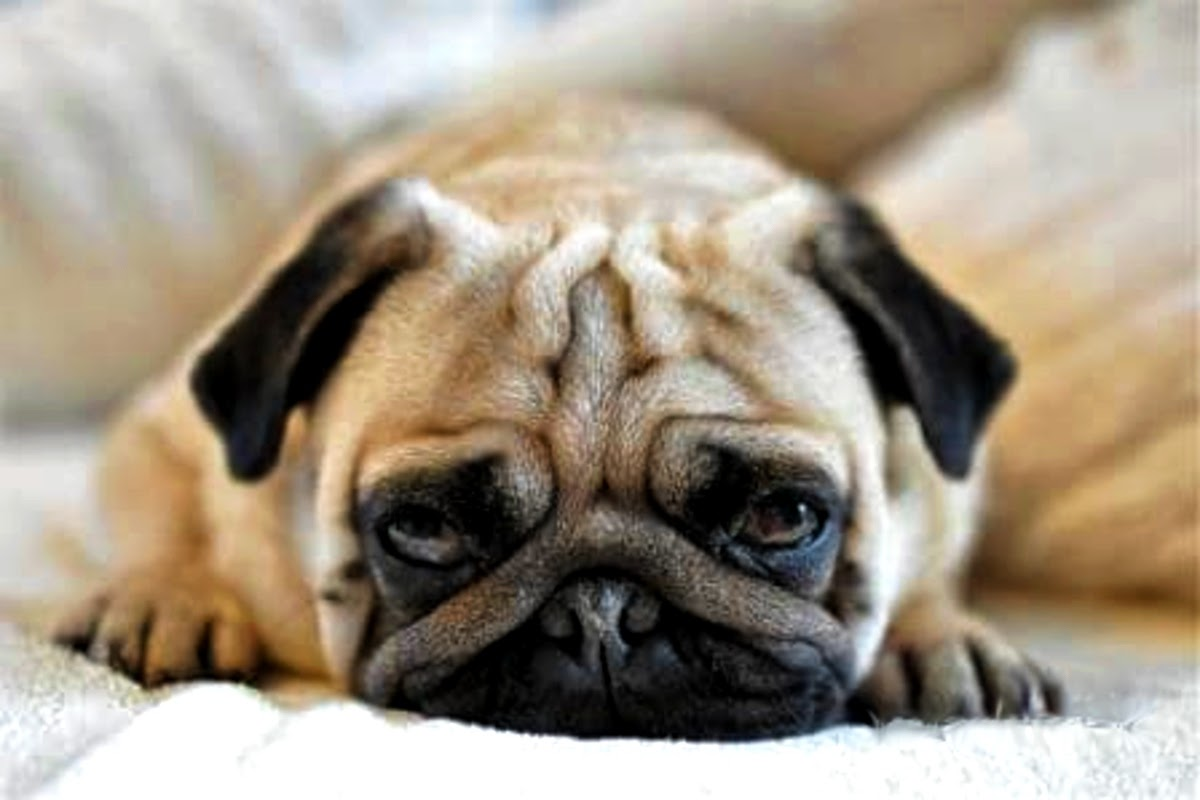 sad pug with face down in hands