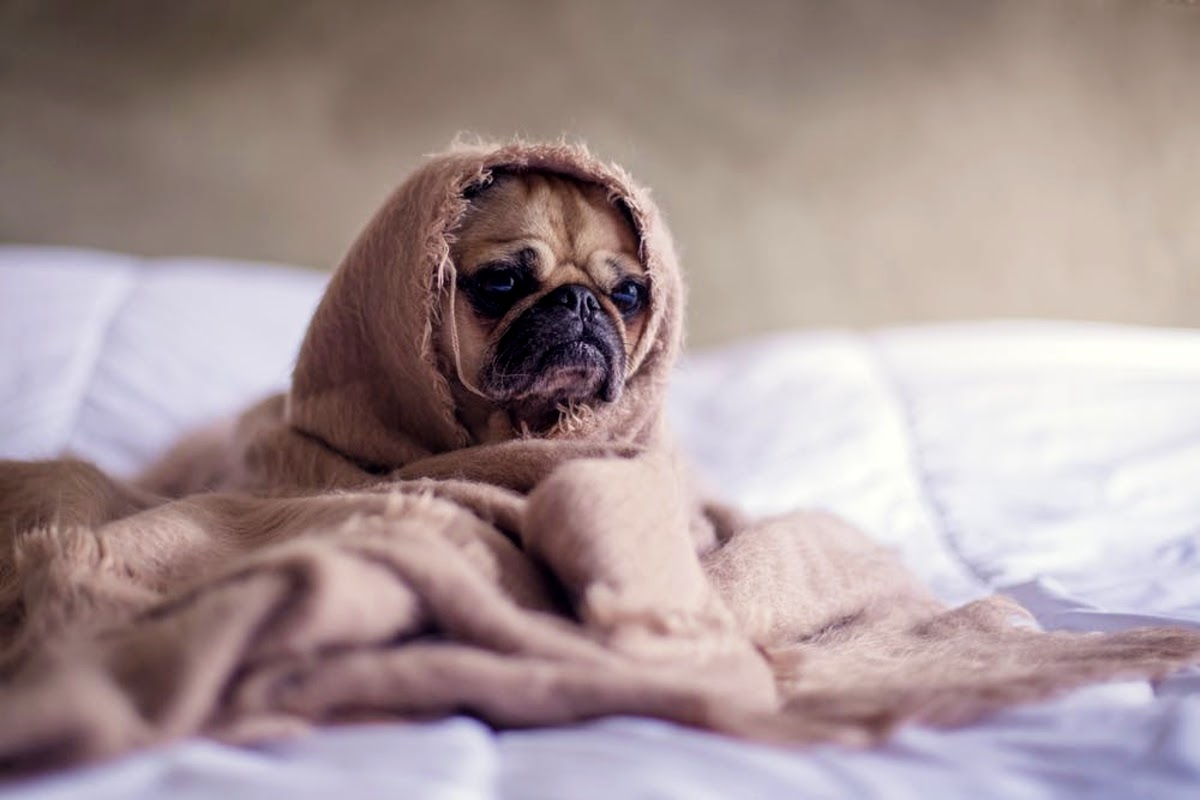 sad pug wrapped up in blanket