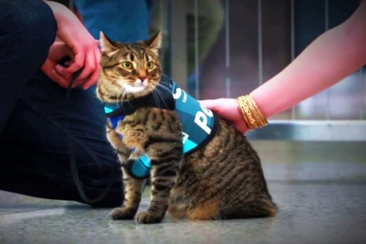 trained therapy cat in a vest