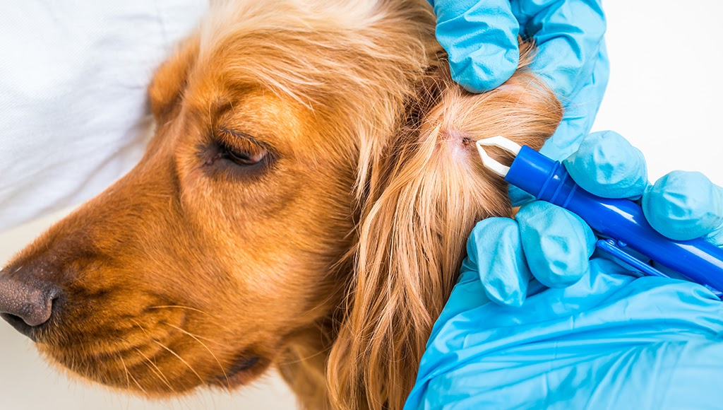 tweezers removing tick form a dog's ear