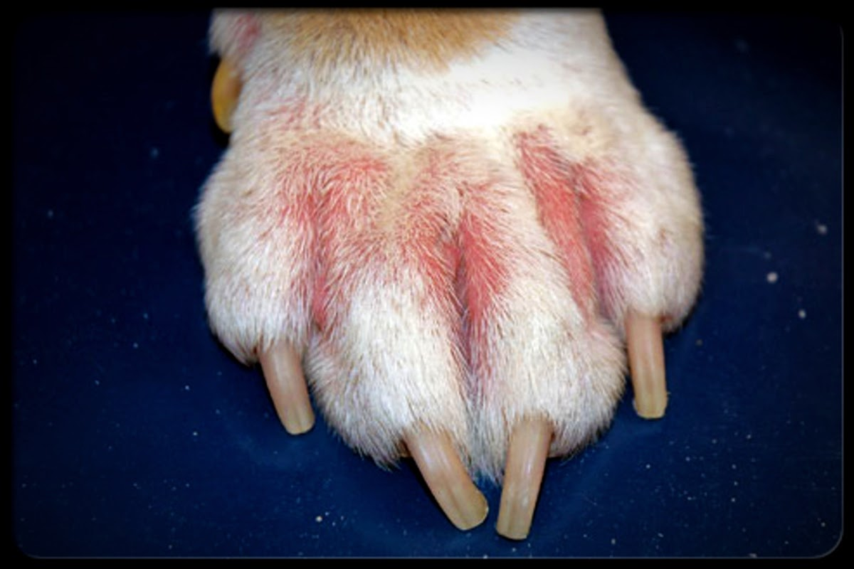 close up of top of dogs paw with hairloss