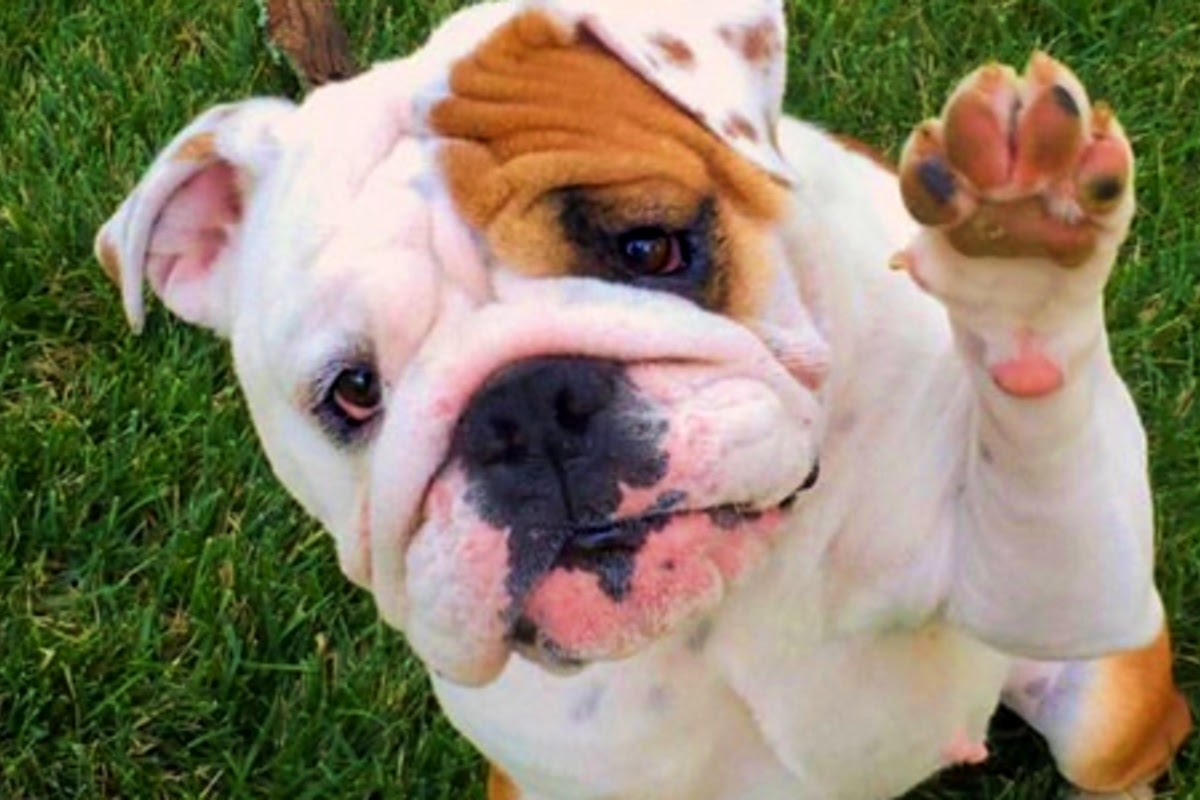 cute bull dog with its paw raised in the air