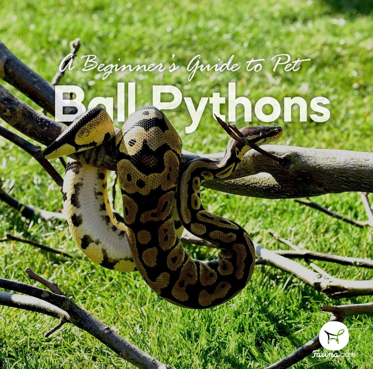 A ball python outside on a branch