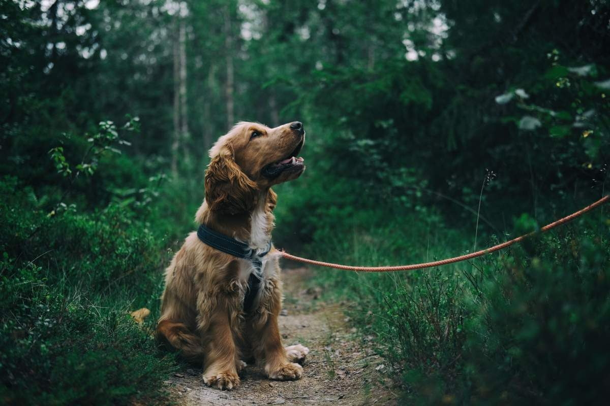 Cute smiling puppy sitting on a trail in the woods wearing a collar and leash