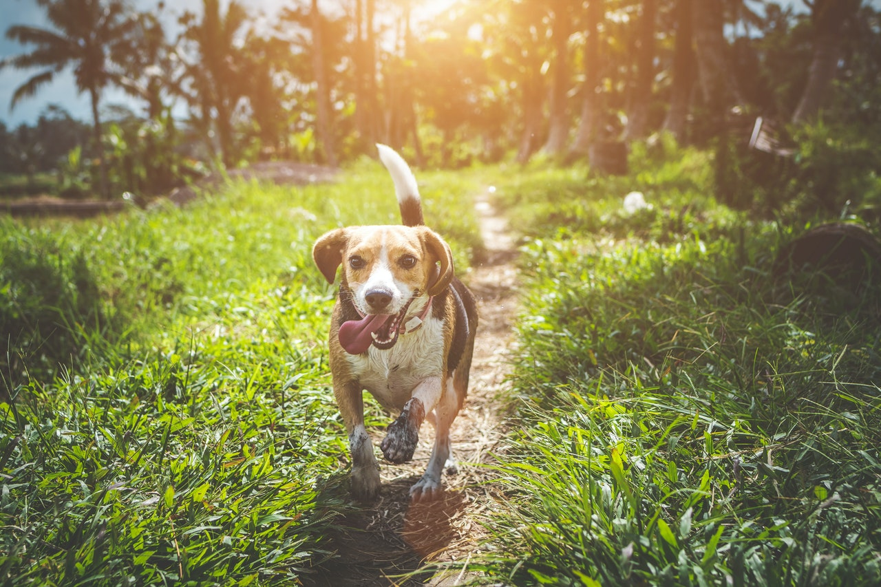 A beagle running along a trail lined with thick grass and palm trees.