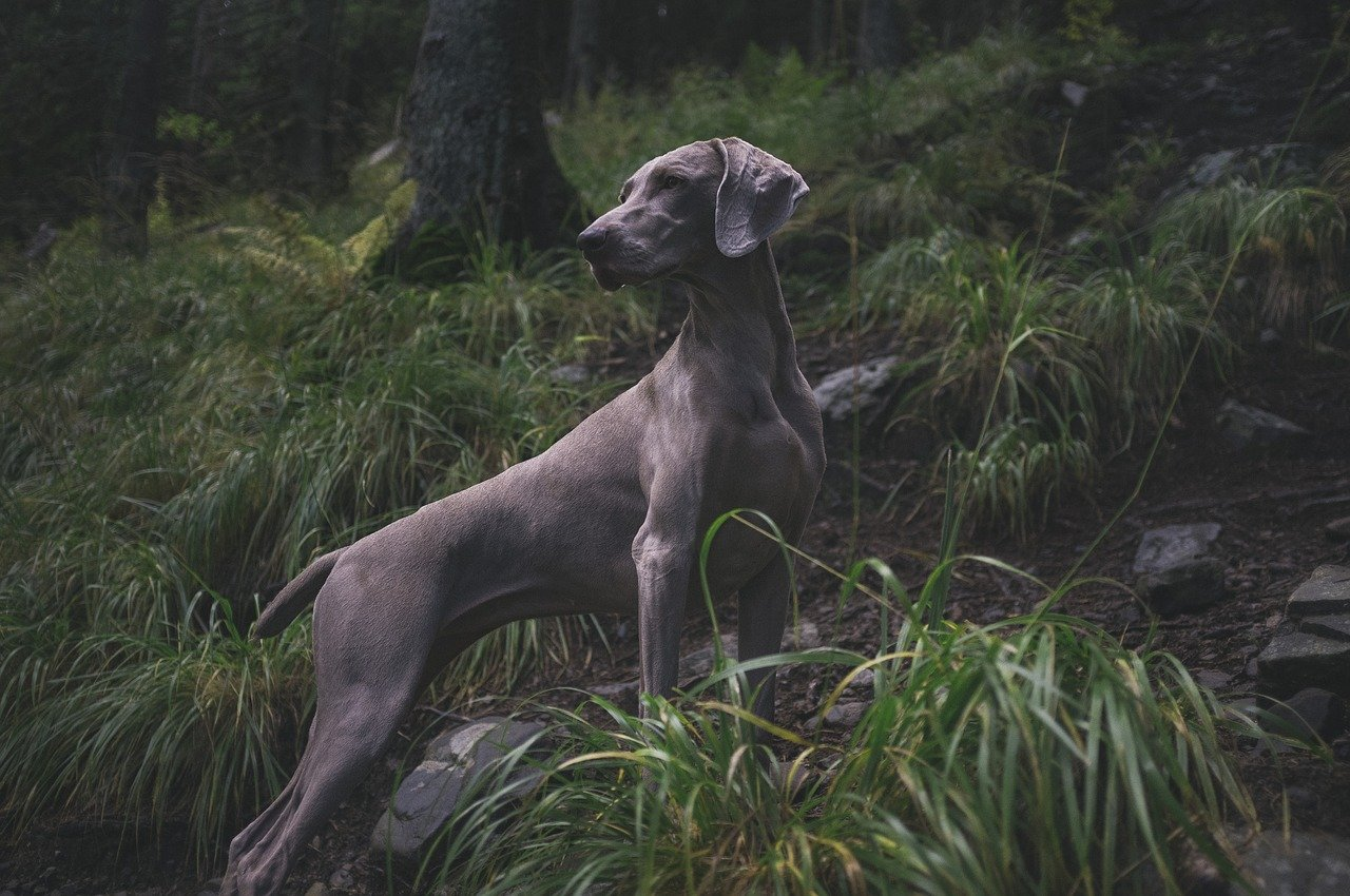 A gray dog stands on a rock in the forest. Around it are shrub-like plants with long leaves.