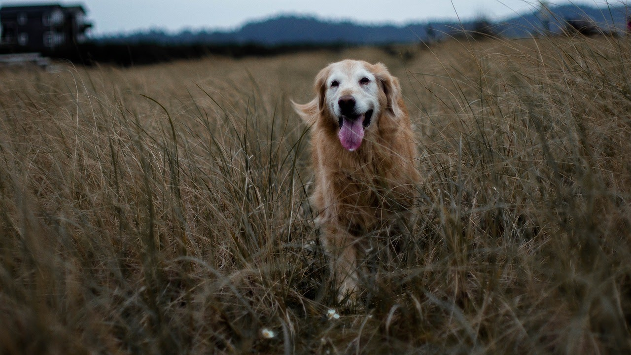 An eldery golden retriever with a white face walks through a golden field with his tongue out.