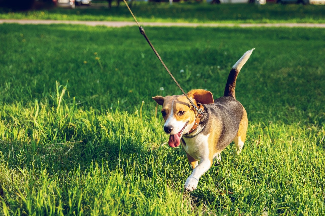 A beagle on a leash runs through the green grass in the sunshine, with his tongue out.