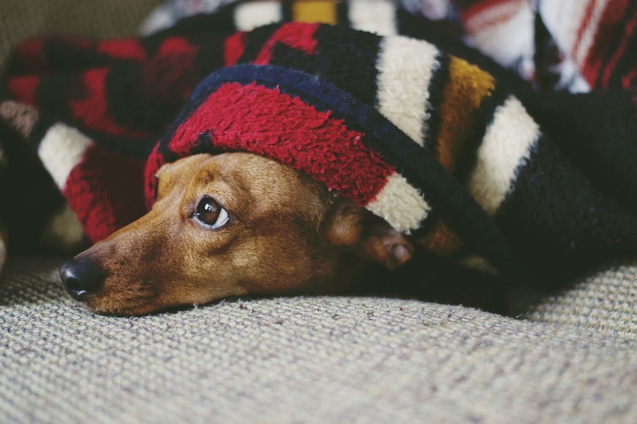 A brown dachshund lays under a patterned blanket on a couch with his head peaking out.