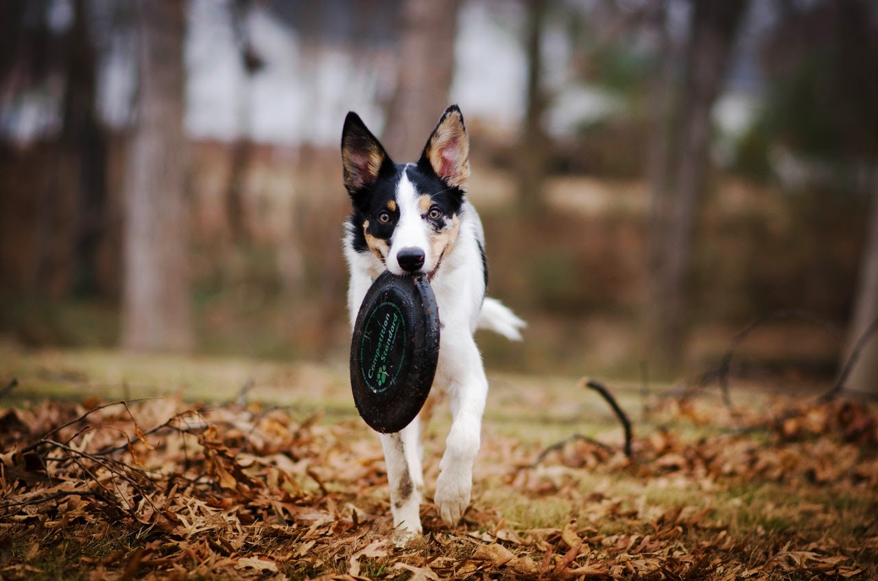 A mixed-breed dog colored white with black and orange spots and pointy ears walks with a black frisbee in his mouth.