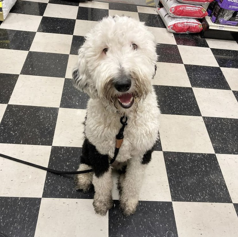 "Bunny the ""talking dog"" sits on a black and white checkered floor looking up at the camera. She has fluffy white and black fur, her mouth is open like she's smiling."
