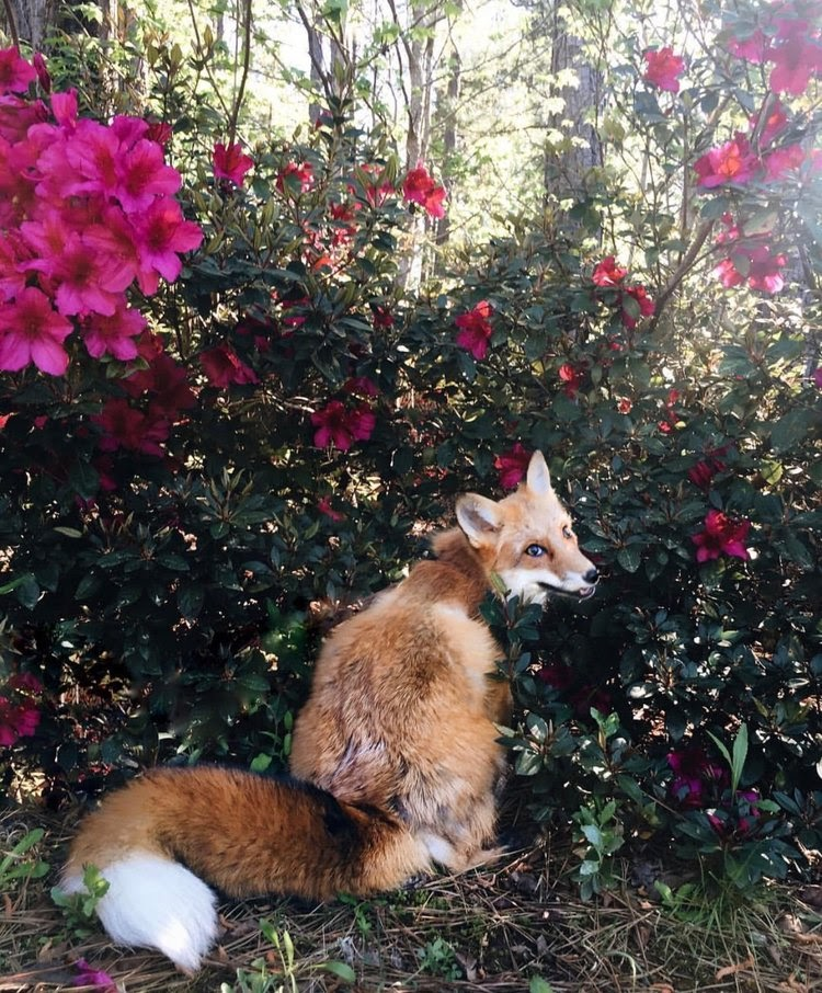 Juniper the fox sits in front of a bush with large magenta colored flowers. She looks back at the camera. Her fur is mostly red with some white highlights.