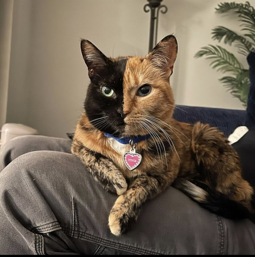 Venus the two-face cat sits on the lap of her owner facing the camera. Her face is split right down the middle in terms of her coloration. On the left her fur is black with a green eye, on the right her fur is ginger with a blue eye.