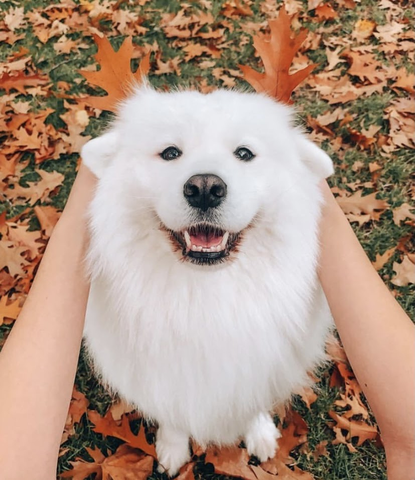 A closeup of Maya the Samoyed. Her fur is entirely white and very fluffy. Her owner holds two orange leaves behind her ears to match the background, green grass with leaves on it.
