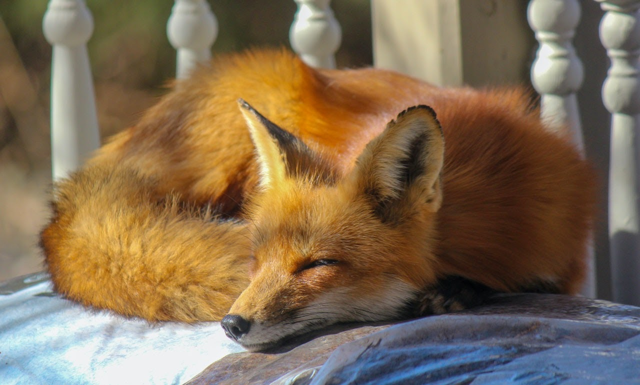 A red fox sleeps curled up on a white bedspread.