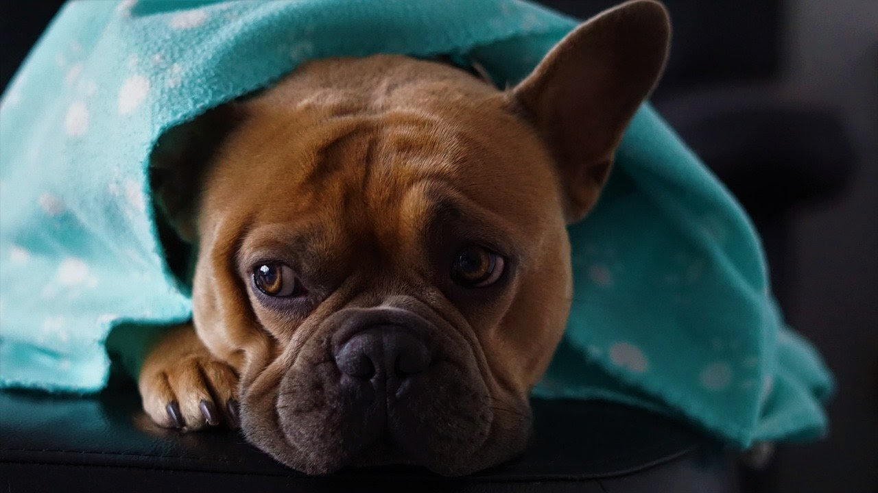 A brown french bulldog lays under a blue blanket with pawprints on it.