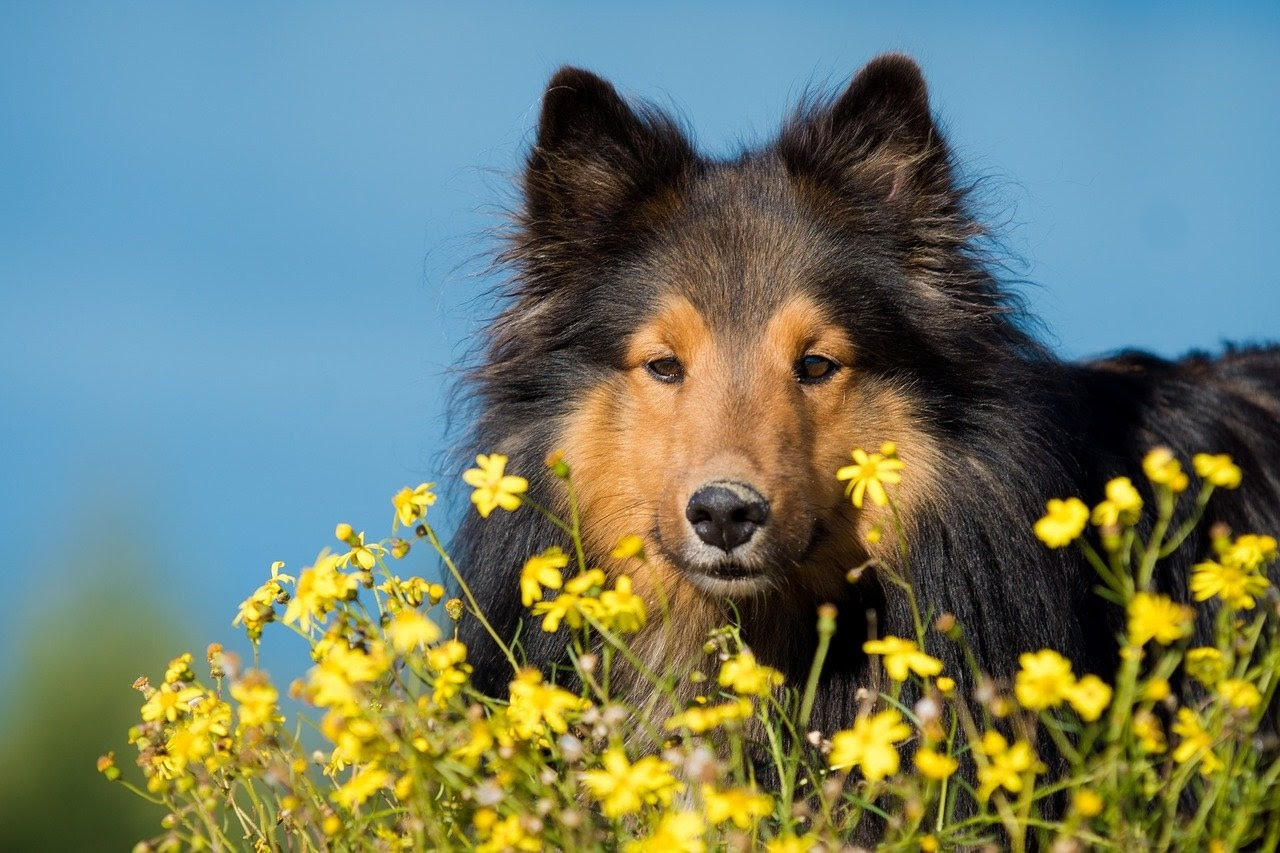A black border collie with a tan face stands in a field of yellow flowers.