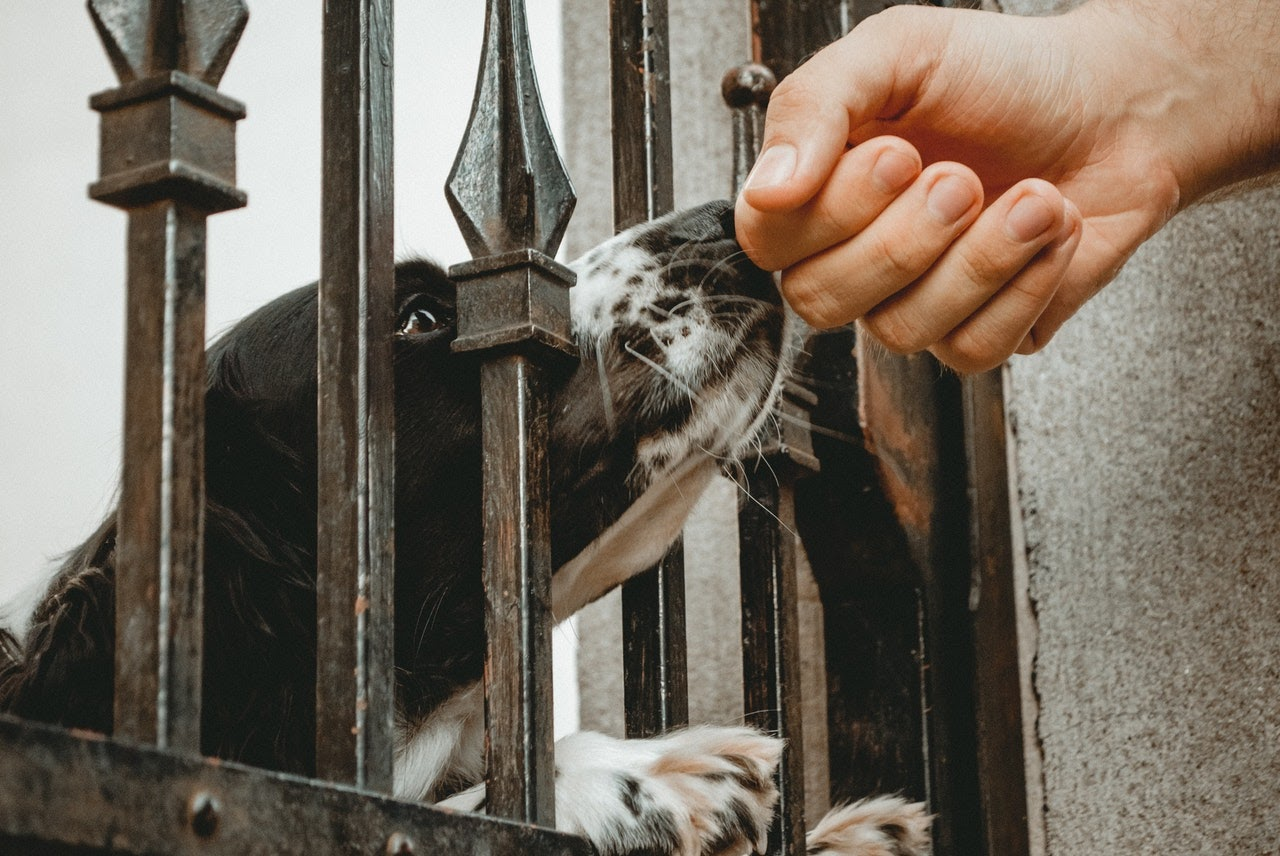 A black and white dog sticks his head through the gaps of a metal gate to sniff a person's hand.
