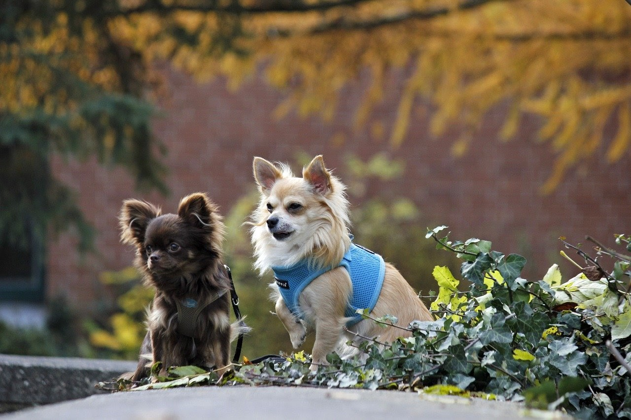 Two long haired chihuahua's, one brown and one blonde, sit on the sidewalk by some leaves with harnesses on.