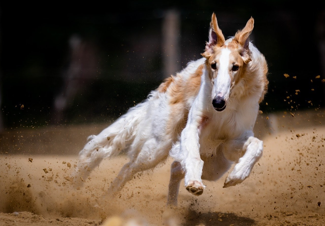 A long haired white and tan greyhound runs on a dirt track.