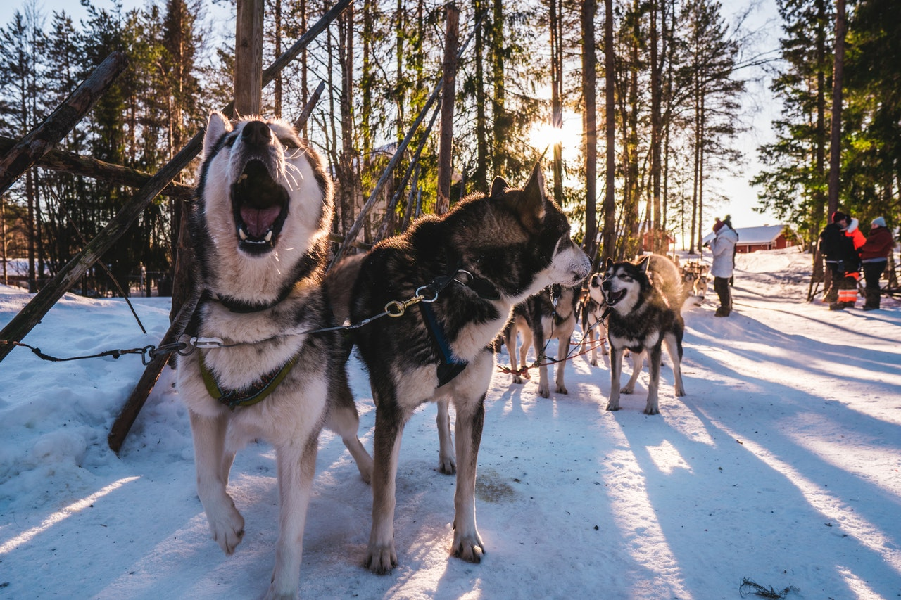 Sled dogs in their harnesses are at rest near a hitching post. There is snow on the ground, pine trees nearby, and a red barn in the distance.