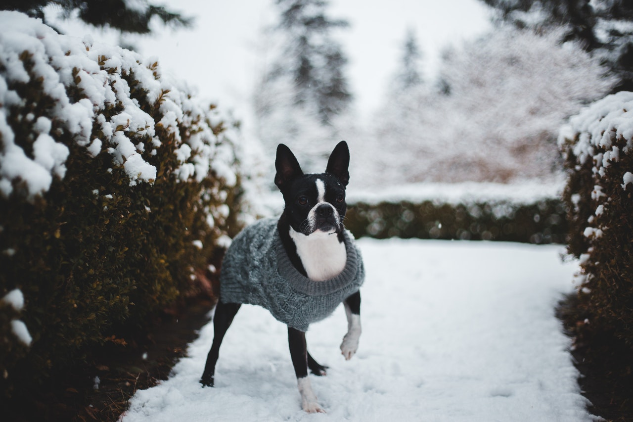A Boston Terrier stands outside in the snow next to a bush. It is wearing a blue knit sweater.