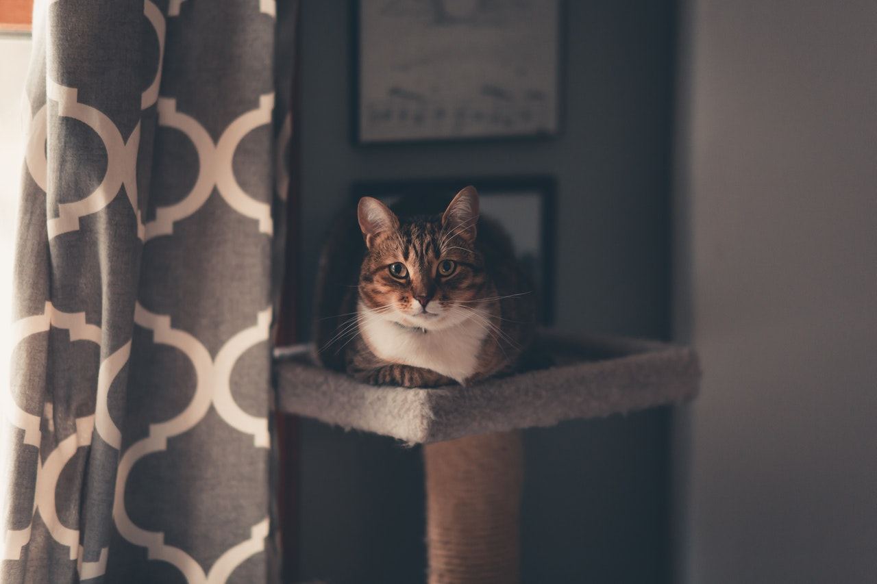 A brown cat with a white chest lays on top of a cat perch. To the left of the cat is a window, leaving the cat half in light and half in shadow. It stares at the viewer.