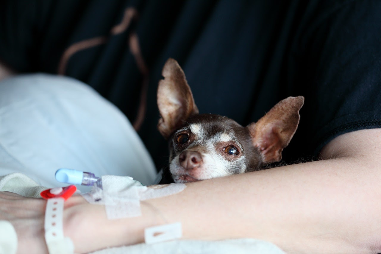 A brown and white chihuahua sits in the arms of a person who has an IV in their arm.