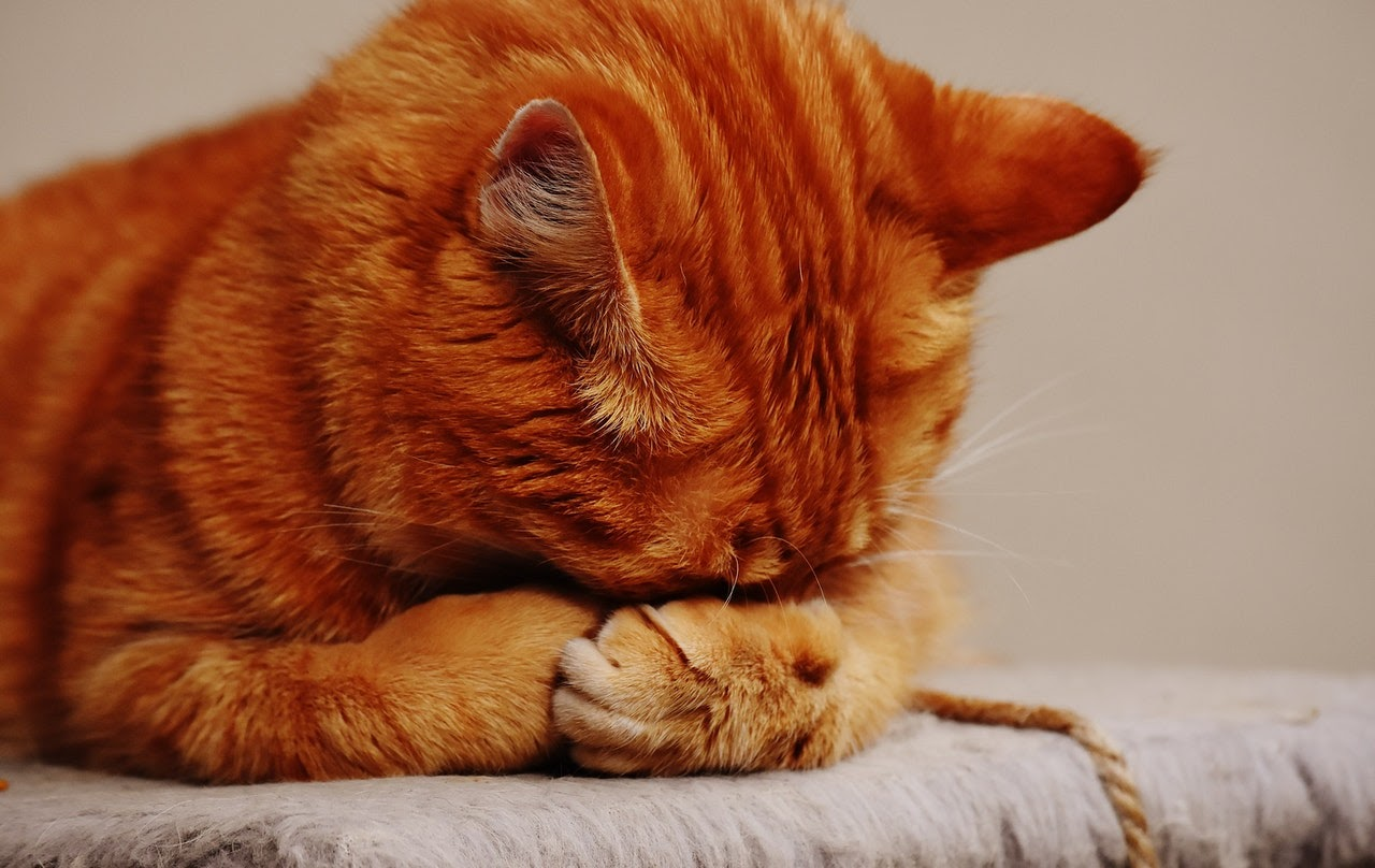 A orange tabby cat rubs its face on its paws.