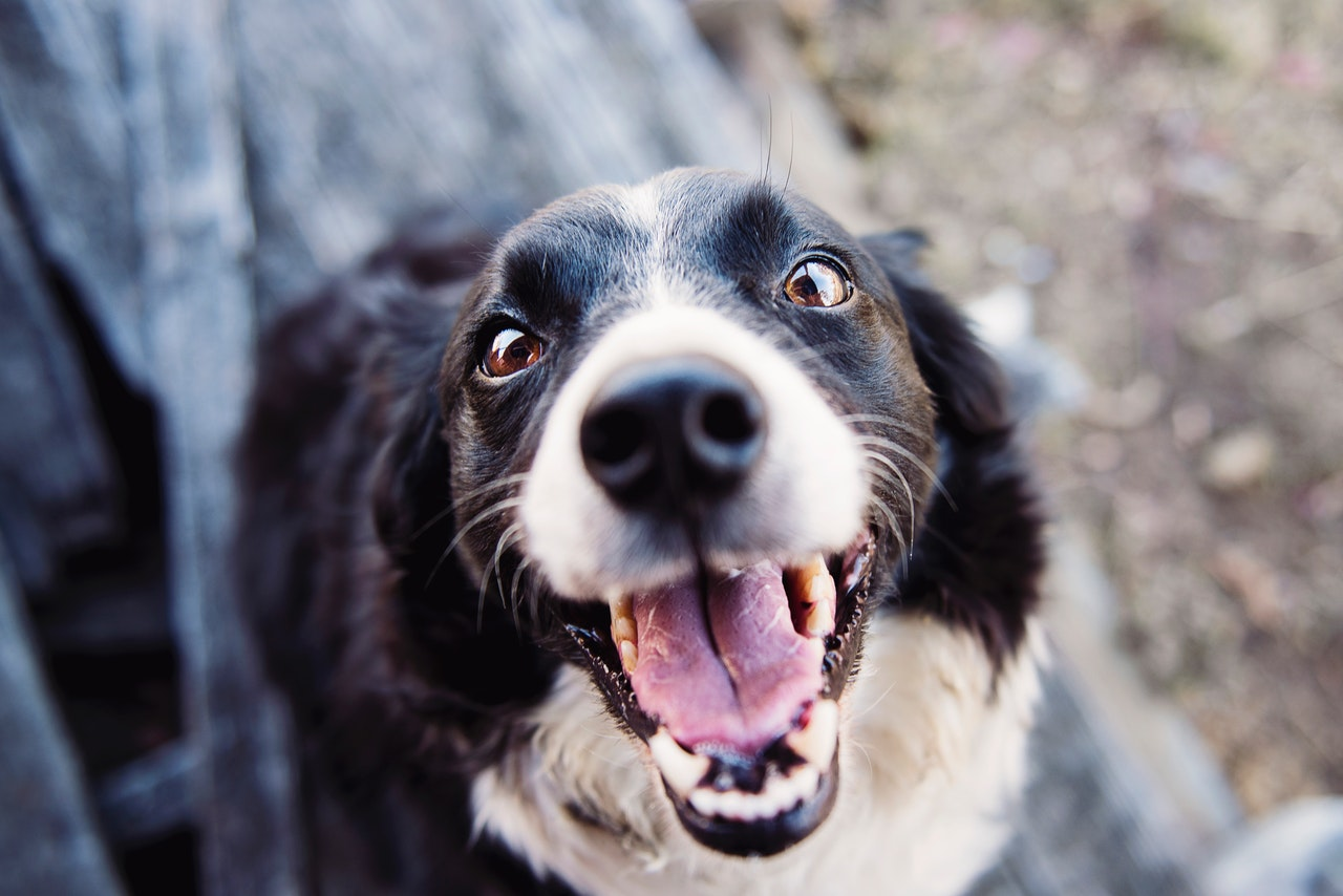 A Border Collie looks up at the photographer with its mouth open, panting.