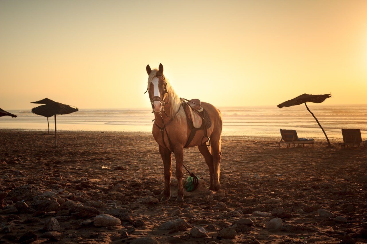 A palomino horse, saddled, stands on a beach at sunset.