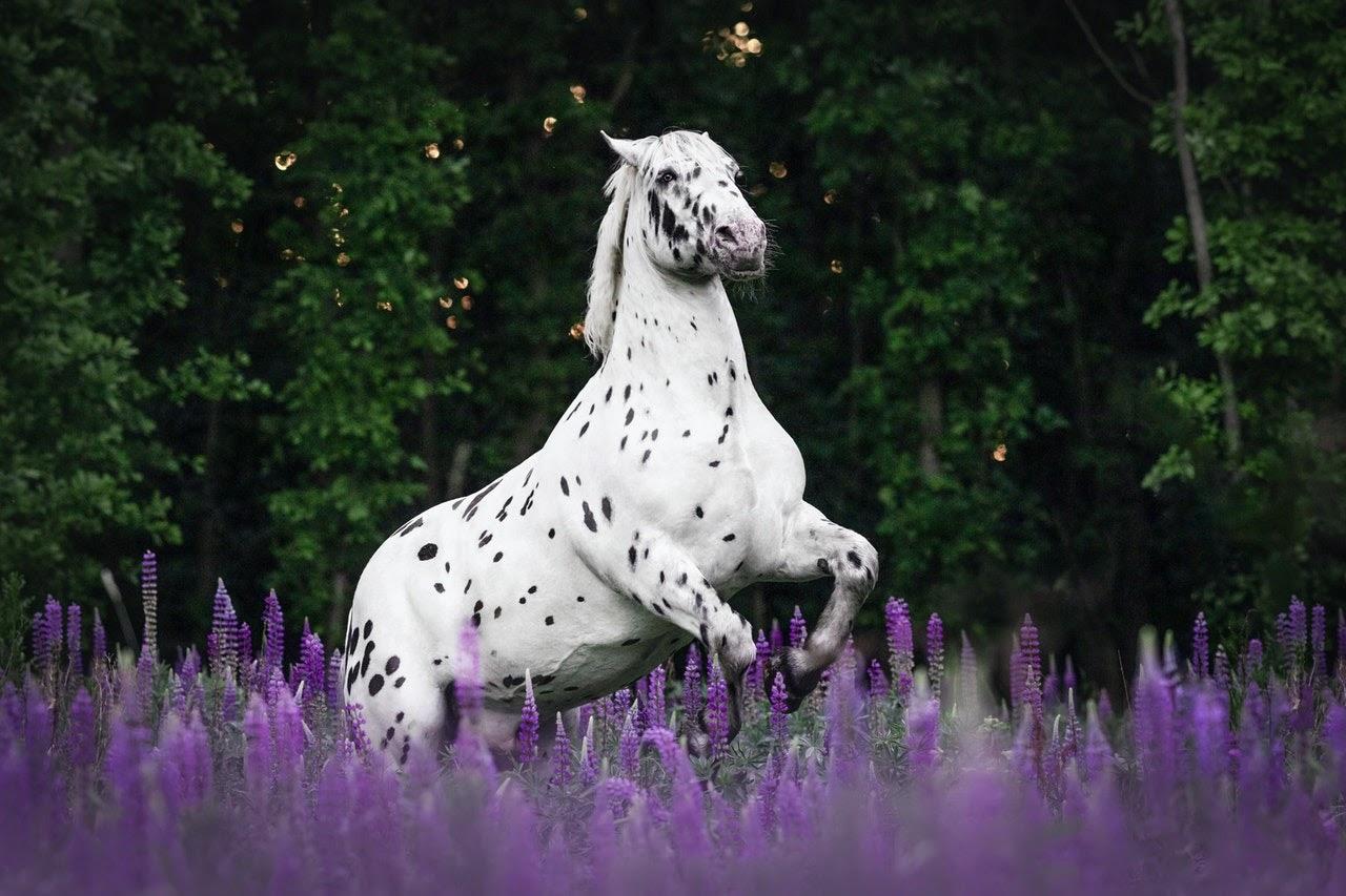 An appaloosa horse rears in a field of purple flowers.