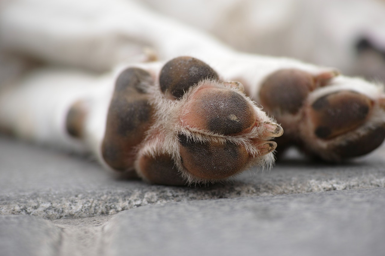 A close up image of a dog's front paws. The dog has white colored fur and brown paw pads with pink spots.