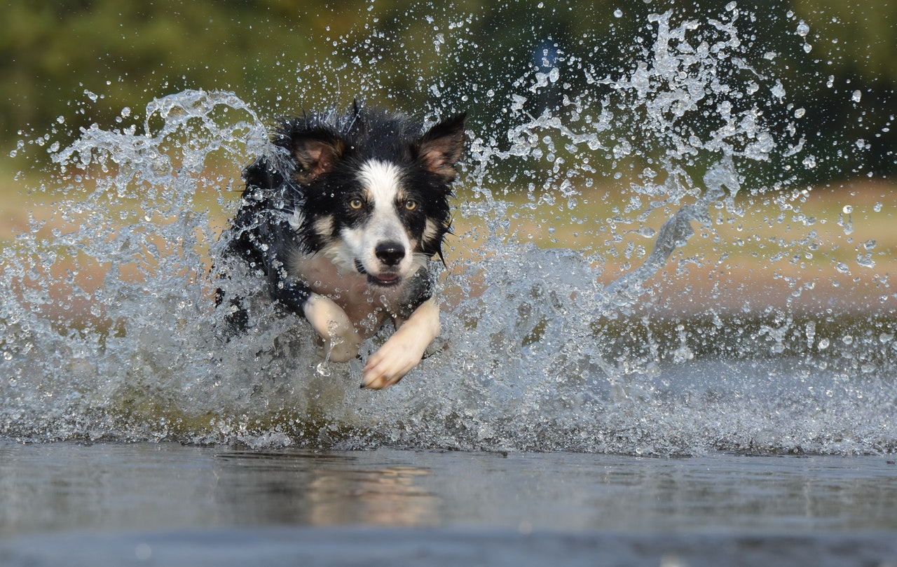 A black and white collie dog with yellow eyes runs through a pool of water, creating a large splash.