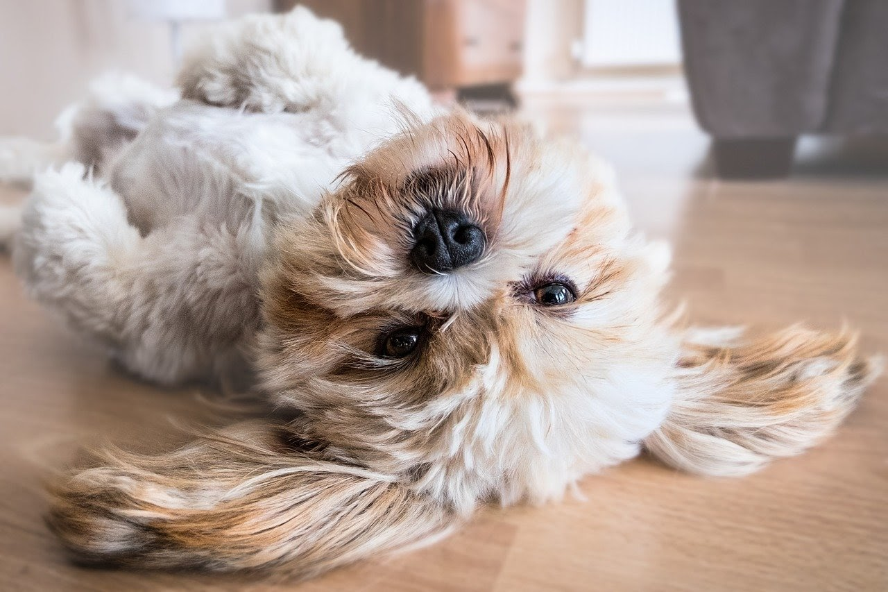 A small white dog lays on its back on hardwood floors.