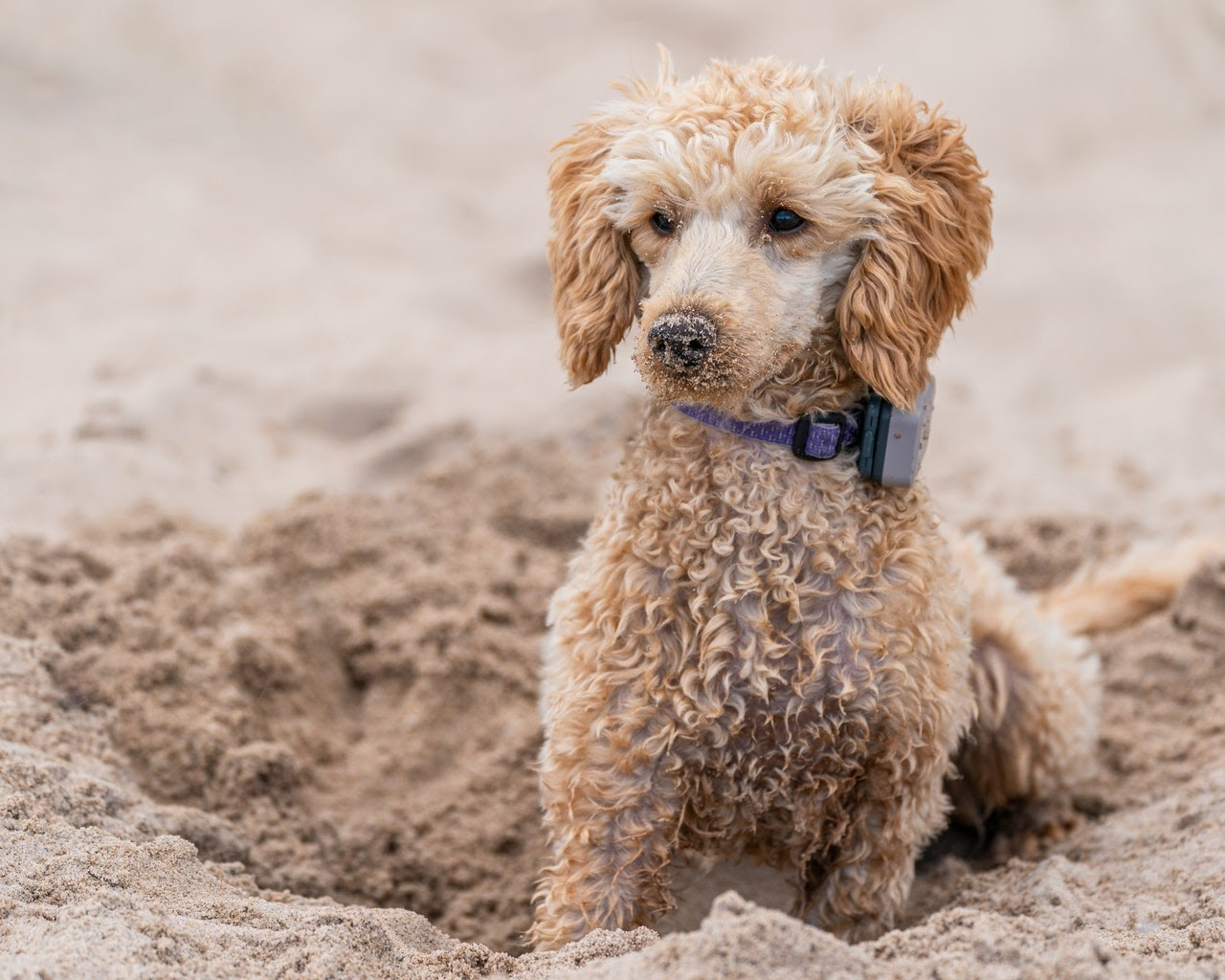 A blonde poodle on a beach with sand on its nose.