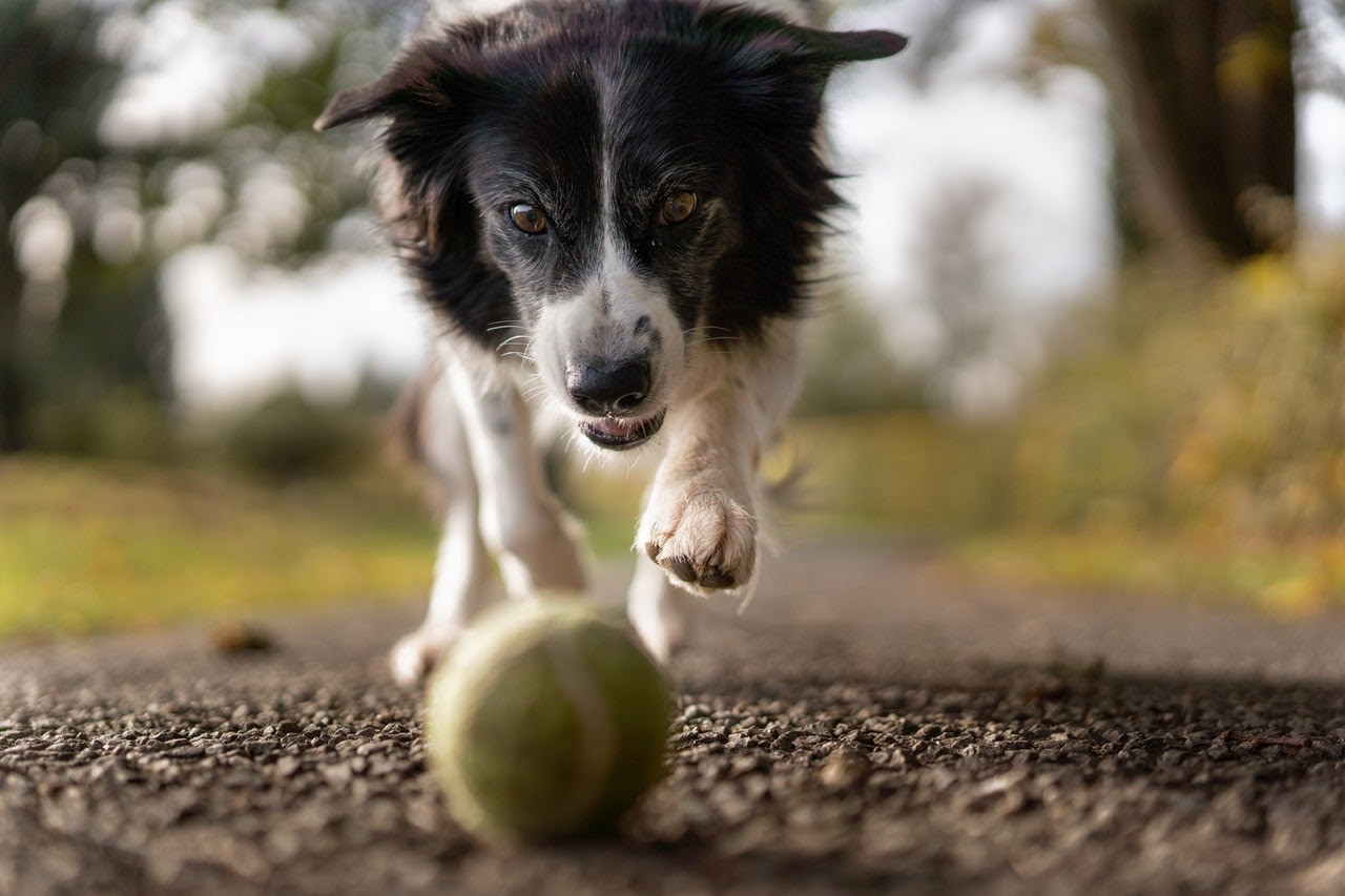 A black and white border collie chases after a tennis ball.