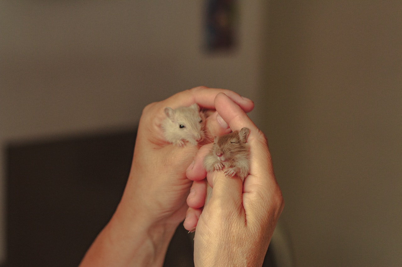 A pair of hands holds two hamsters, one blonde and the other brown. The brown hamster is asleep.