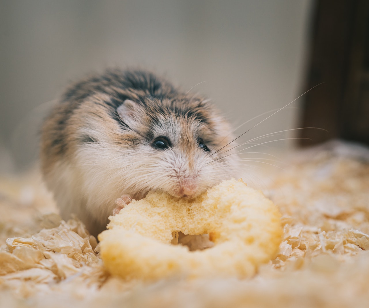 A closeup of a hamster with brown and white fur on its back and white fur on its belly. It is chewing on a circular, gold colored treat with one paw gripping the side. It stands in a pile of fluffy substrate.